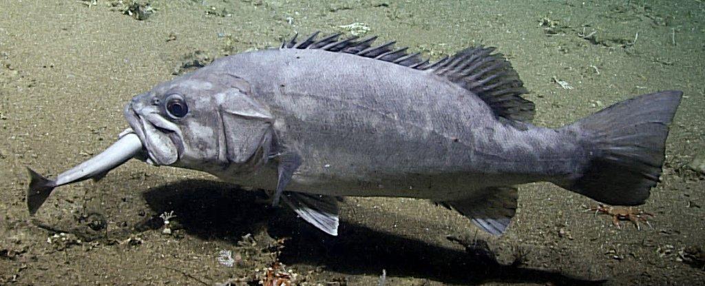 Cientistas capturam imagens incrivelmente raras de peixes do fundo do mar devorando um tubarão inteiro
